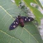 Wasp Moth / Handmaiden Moth