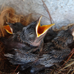 Robin chicks by Chandrakant Wankhede - Animals Birds