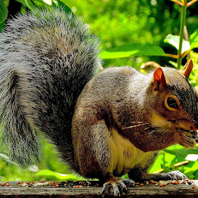 SQUIRREL PORTRAIT by Doug Hilson - Animals Other Mammals ( bushy tail, feeding, close up, squirrel,  )