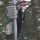 Pileated Wood-Pecker (female)