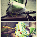 Cecropia caterpillar/cocoon