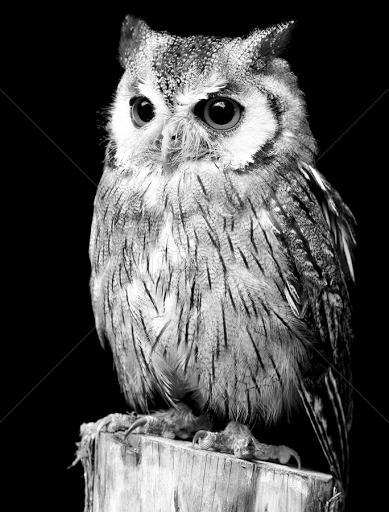 Northern White Faced Owl Animals Black White Pixoto