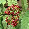 Velvet-leaf wild coffee