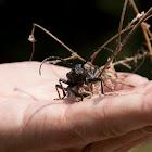Weaver Beetle (Lamia Textor)??