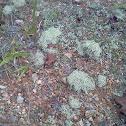 British Solider Lichens
