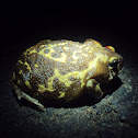 Marbled Balloon Frog