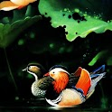 3D Mandarin duck logo