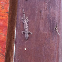 Frilly House Gecko / Flat Tailed House Gecko