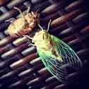 Resh Cicada