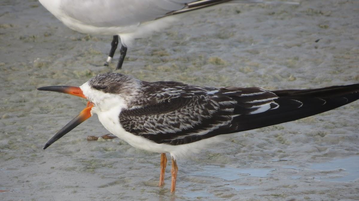 Black Skimmer juvenile
