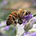 Bee (Honey bee)