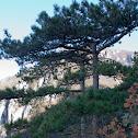 Banat Black Pine