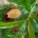 giant shield bug nymphs
