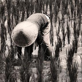 Rice Field Farmer by Ozge Kesim Yurtsever - Black & White Portraits & People ( rice field, farmer, rice paddy, rice worker,  )
