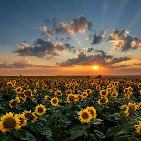 Sunflower field by Evgeni Ivanov - Landscapes Prairies, Meadows & Fields ( plant, agriculture, sunflower, cloudscape, scenic, dusk, field, sky, nature, vibrant color, sunset, horizontal, background, lanscape, summer, rural scene, stem, flower, petal,  )