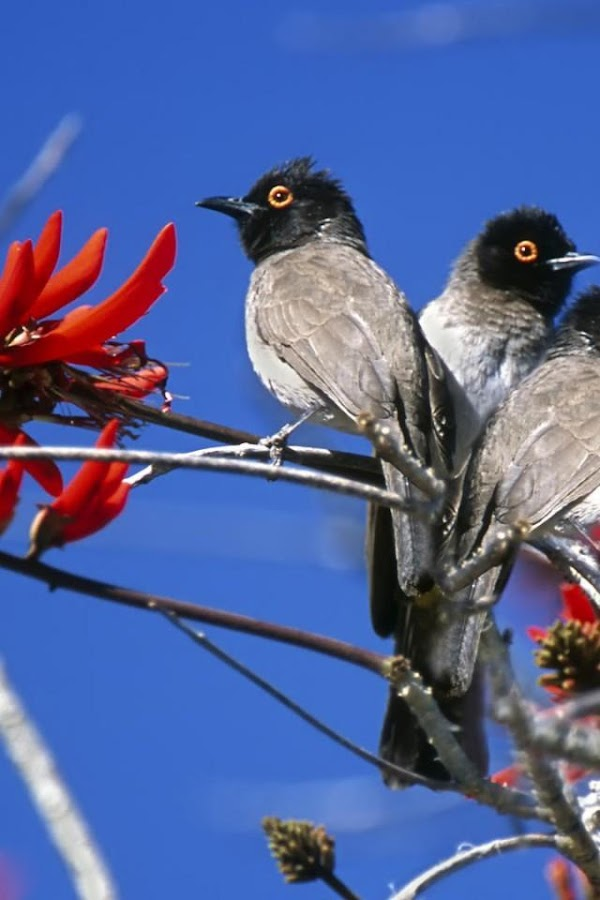 Singing Birds HD Wallpaper - screenshot