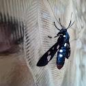 Polka Moth