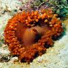 Corallimorpharian