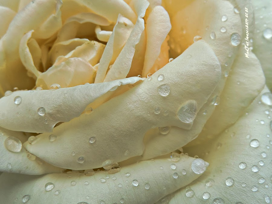 Real Rose by Jacquie Woodburn - Novices Only Flowers & Plants ( rose, petals, drop, nikon, rain, coolpix p520,  )