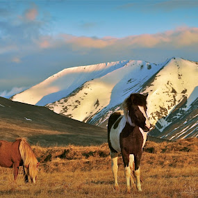 The horse by Kristján Karlsson - Animals Horses ( wild, mountains, nature, horses, snow )