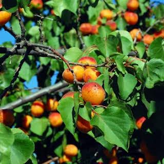 Fresh Apricot Chutney Recipes.