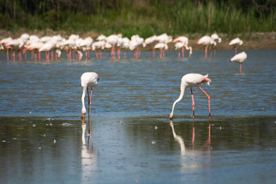 flamants roses mangent