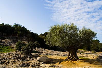 Un olivier en photo
