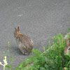 European wild rabbits