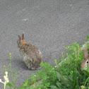 European wild rabbits