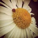 Ladybug (or Ladybird)