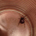 False Black Widow