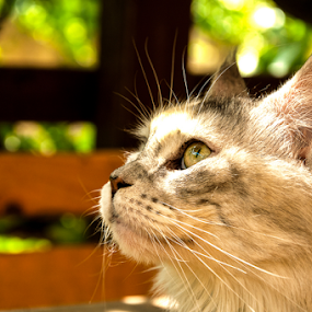 A glance by Luana Racan - Animals - Cats Portraits ( cat, animals, maine, yard, green, domestic, photo, portrait, photography, cats, maine coon, domestic cat, animal, mainecoon )