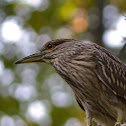 Black-crowned Night Heron [juvenile]