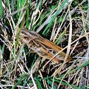 Two-Stripe Grasshopper