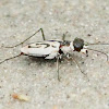 Eastern beach tiger beetle