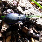 Violet Ground Beetle