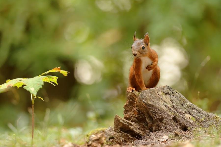 La main sur le coeur by Cédric Guere - Animals Other ( wild, red, nature, wildlife, squirrel, animal )