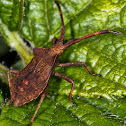Dock Bug - Coreus marginatus - late instar nymph - close up