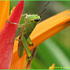 Rice Grasshopper (Nymph)