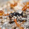 Weaver ants hunting