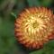 Straw flower denoiseclarityboost1adjust.jpg