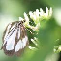 Tiger Moth Nyctemera sp.