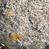 crustose lichen and a foliose lichen