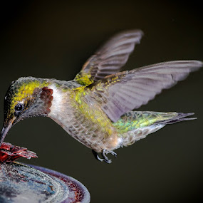ruby 2 by Gregg Pratt - Animals Birds ( hummingbird )