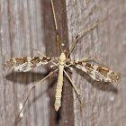Cranefly carrying Pseudoscorpion