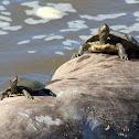 False Map Turtles
