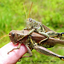 Differential Grasshoppers Mating