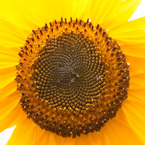 by Dominick Bianco - Flowers Single Flower ( , summer, sunflowers, flowers, yellow, garden, seeds )