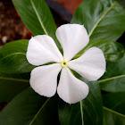 Catarantus, vinca de Madagascar