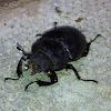Stag Beetle (Female)